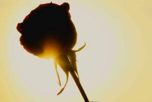 4 parfums pour redécouvrir la rose